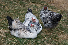 Drei glückliche Schwarzweiss-Hühner. Stockbild