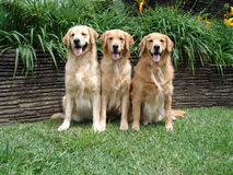 Drei goldene Apportierhunde Stockfoto
