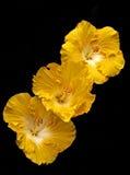 Drei goldene Hibiscusblumen Lizenzfreies Stockbild