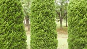 Drei grüne Bäume der Kiefer im Garten Stockbild