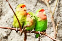 Drei grüne Papageien lizenzfreies stockfoto