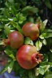 Drei Granatäpfel Lizenzfreies Stockbild