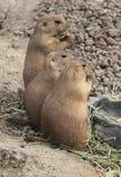 Drei Grasland-Hunde Stockfoto