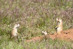 Drei Graslandhunde stehen in Verbindung. Stockfoto