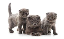 Drei graue Katzen lizenzfreie stockbilder