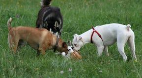 Drei große Hunde, die mit kleinem Spürhund spielen Stockfotografie