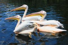 Drei große weiße Pelikane Stockfotografie