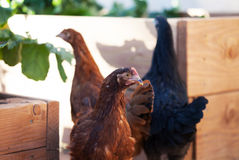 Drei Hühner stockfoto