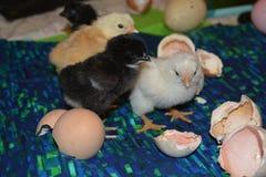 Drei Hühner, die wir ausbrüteten Lizenzfreies Stockfoto