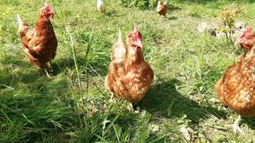 Drei Hühner im deutschen Dorf stockfoto