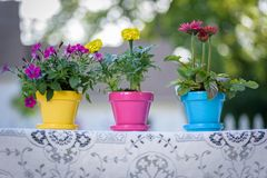 Drei helle farbige Frühlingsblumentöpfe auf Spitzetischdecke Stockfoto