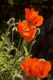 Drei helle rote Mohnblumenblumen kontrastieren zu ihren flockigen grau-grünen Knospen und zu Laub Stockbild