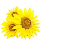Drei helle Sonnenblumen Stockfoto