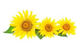 Drei helle Sonnenblumen Stockbilder