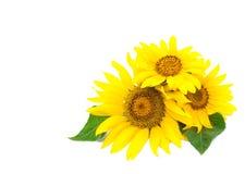 Drei helle Sonnenblumen Lizenzfreie Stockfotos