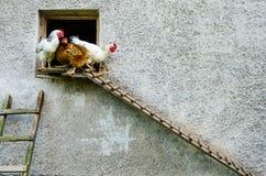 Drei Hennen, die ihren Korb verlassen Stockfoto