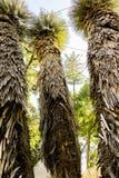 Drei hoch und ausgezeichnete Palmen, die Ansicht von unten oben auf die Oberseiten Stockfotografie