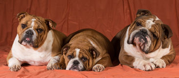 Drei Hunde Stockfoto