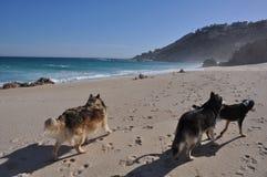 Drei Hunde auf dem Strand Stockbilder