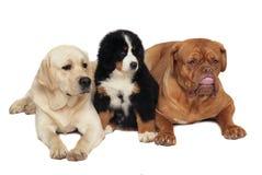 Drei Hunde auf einem weißen Hintergrund. Stockfotografie