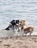 Drei Hunde, die auf Strand spielen Lizenzfreie Stockbilder