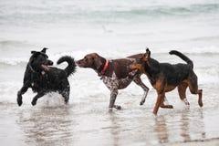 Drei Hunde, die im Ozean spielen Lizenzfreies Stockbild