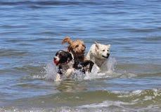 Drei Hunde, die mit einem Ball am Strand spielen Lizenzfreies Stockfoto