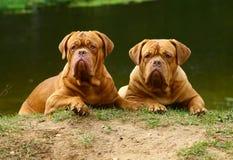 Drei Hunde gegen den Fluss. stockbild