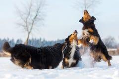 Drei Hunde im Schnee Stockfotos