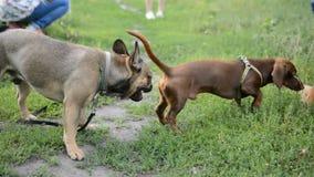 Drei Hundedachshund französische Bulldoggen-Pekineseweg auf dem Naturpark stock video footage