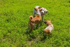 Drei Hundespielen im Freien Stockfoto