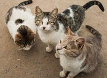 Drei hungrig und schlechte Katzen Lizenzfreie Stockfotos