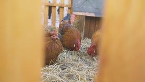 Drei inländische Hühnerfütterung stock footage