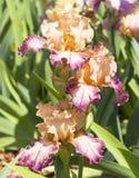 Drei Iris von rosa und purpurroten Farben Stockfotos
