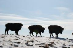 Drei Jugendlich-Büffel Bison Calves Walk auf einem Snowy Ridge Lizenzfreie Stockfotos