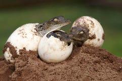Drei junge crocs, die von den Eiern ausbrüten Stockfotos