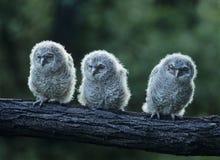 Drei junge Eulen auf Ast Lizenzfreies Stockfoto