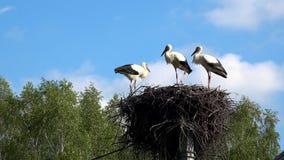 Drei junge Störche im ciconia ciconia weißer Storch des Nestes stock video footage