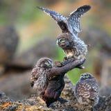 Drei junge Steinkäuze, die nahe dem Nest auf einem Stock sitzen Lizenzfreies Stockfoto