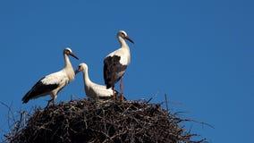 Drei junge weiße Störche im Nest gegen blauen Himmel stock video