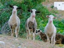 Drei junge Ziegen Stockbild