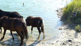 Drei junges Pferdegetränk-Seewasser im Sommer stock footage