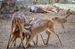 Drei Kälber, die Mutterrotwild in biologischem Park Bannerghatta, Süden Indien melken stockfoto