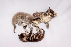 Drei Kätzchen auf einem weißen Hintergrund Kätzchenspiel und haben fun_ lizenzfreies stockbild