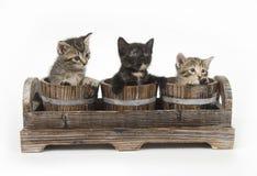 Drei Kätzchen in den Blumentöpfen stockbild