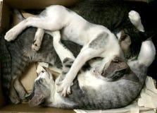 Drei Kätzchen, die zusammen im Kasten schlafen lizenzfreie stockfotos