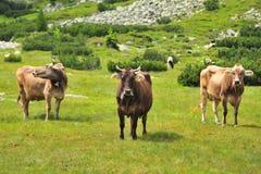 Drei Kühe Lizenzfreies Stockbild
