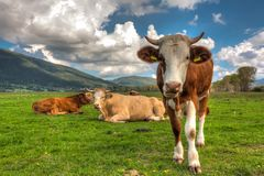 Drei Kühe auf dem Feld Stockbild