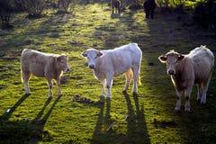 Drei Kühe, die in Richtung der Kamera mit ihren Rückseiten zur Sonne blicken Lizenzfreies Stockbild
