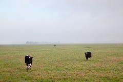 Drei Kühe im niederländischen Polder Stockbilder